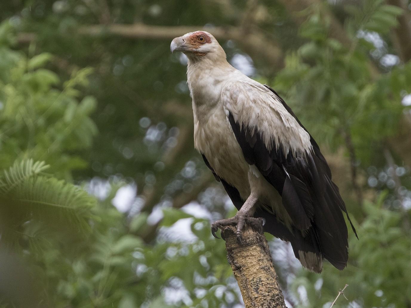 Palm-nut Vulture - Zak Pohlen