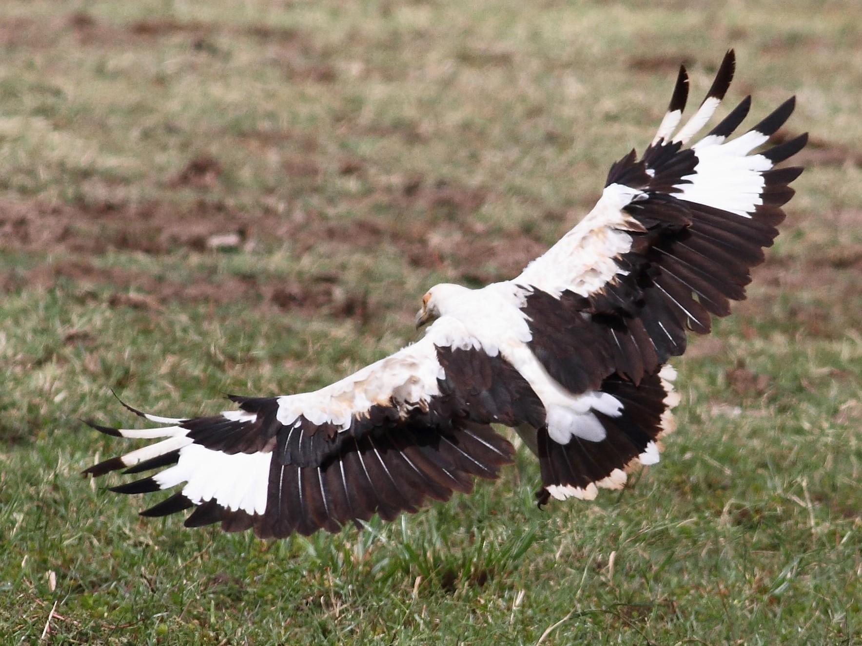 Palm-nut Vulture - Arto Keskinen