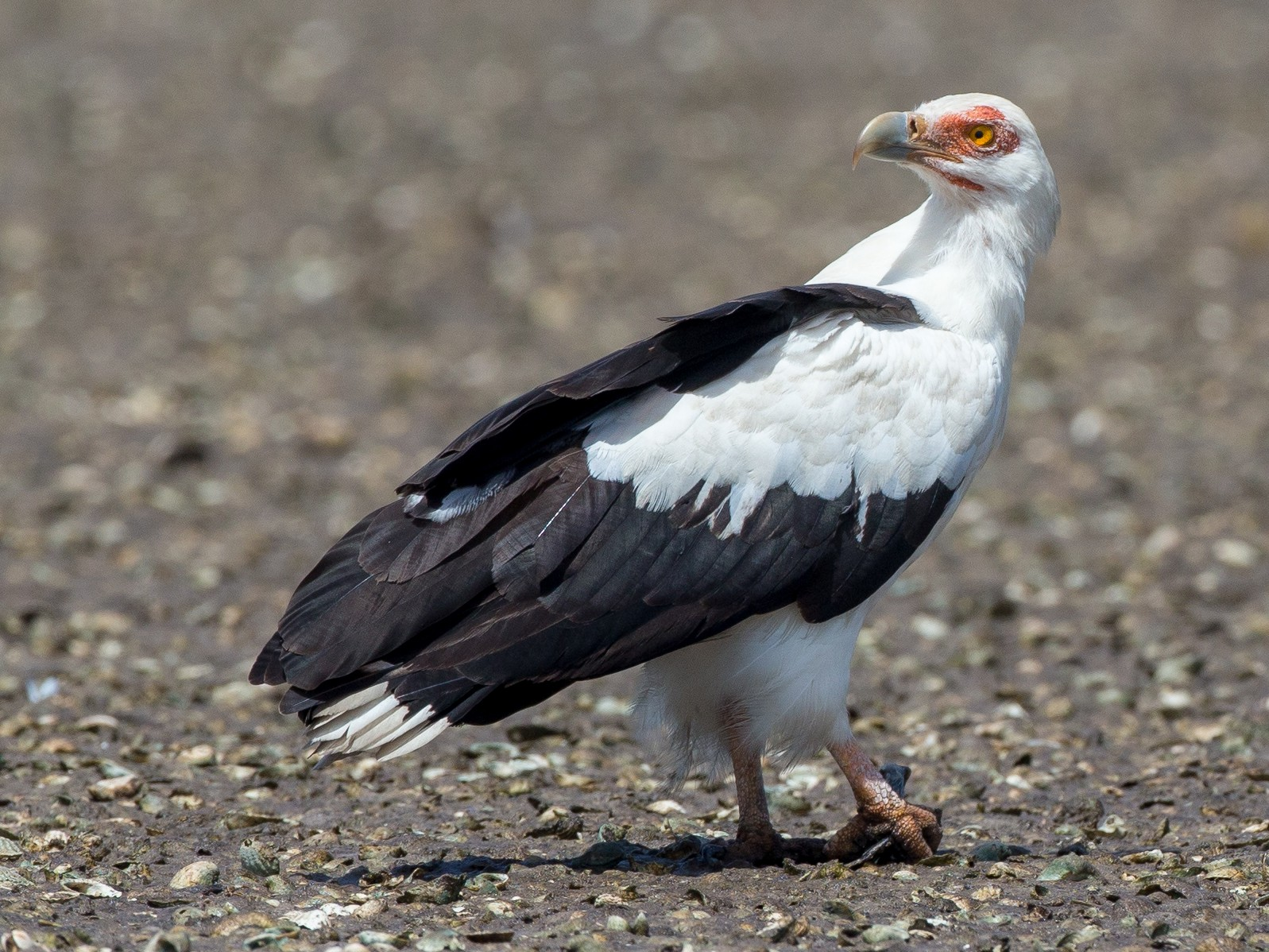 Palm-nut Vulture - Chris Wood