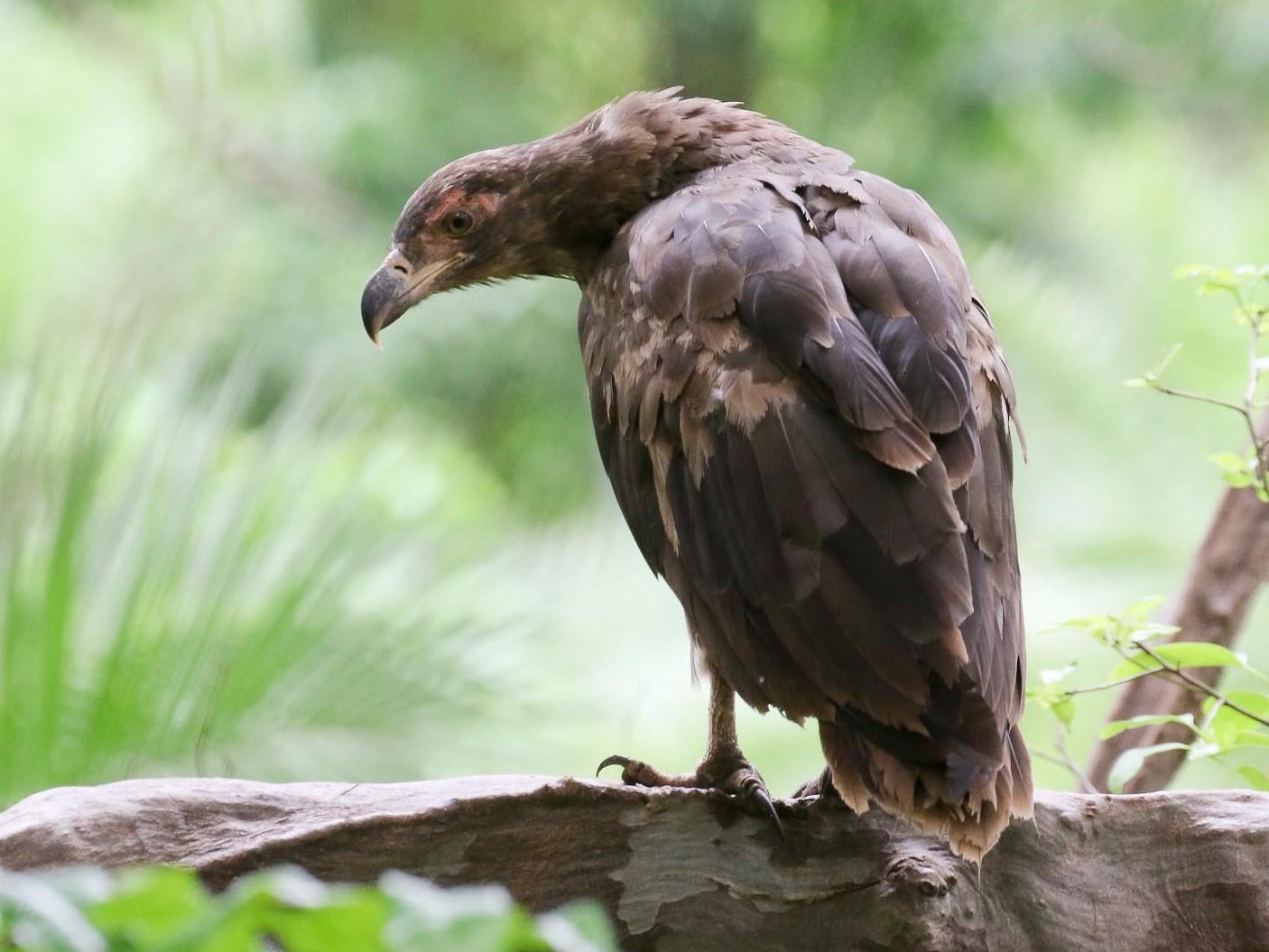 Palm-nut Vulture - Michael O'Brien