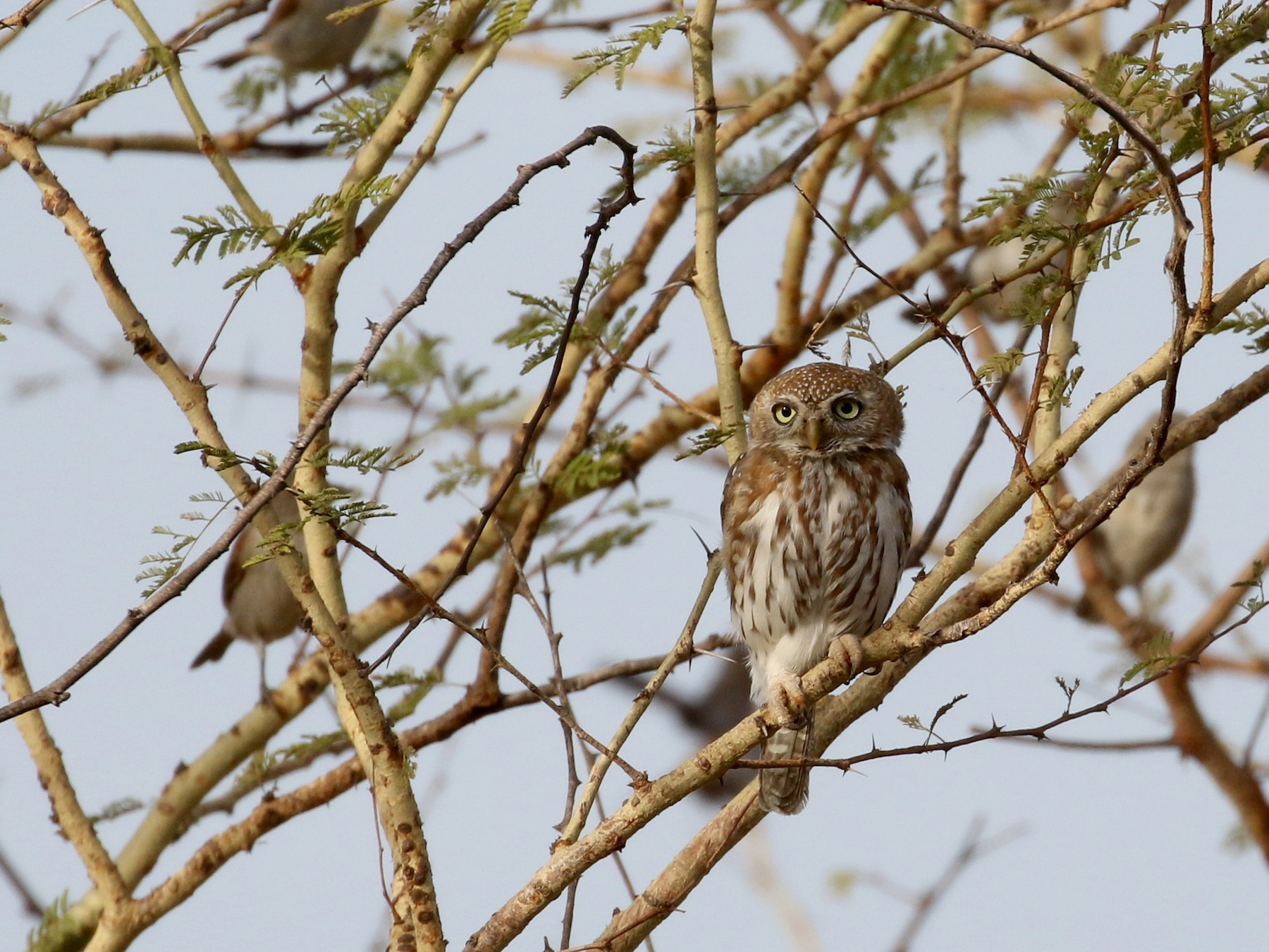 Pearl-spotted Owlet - Jay McGowan
