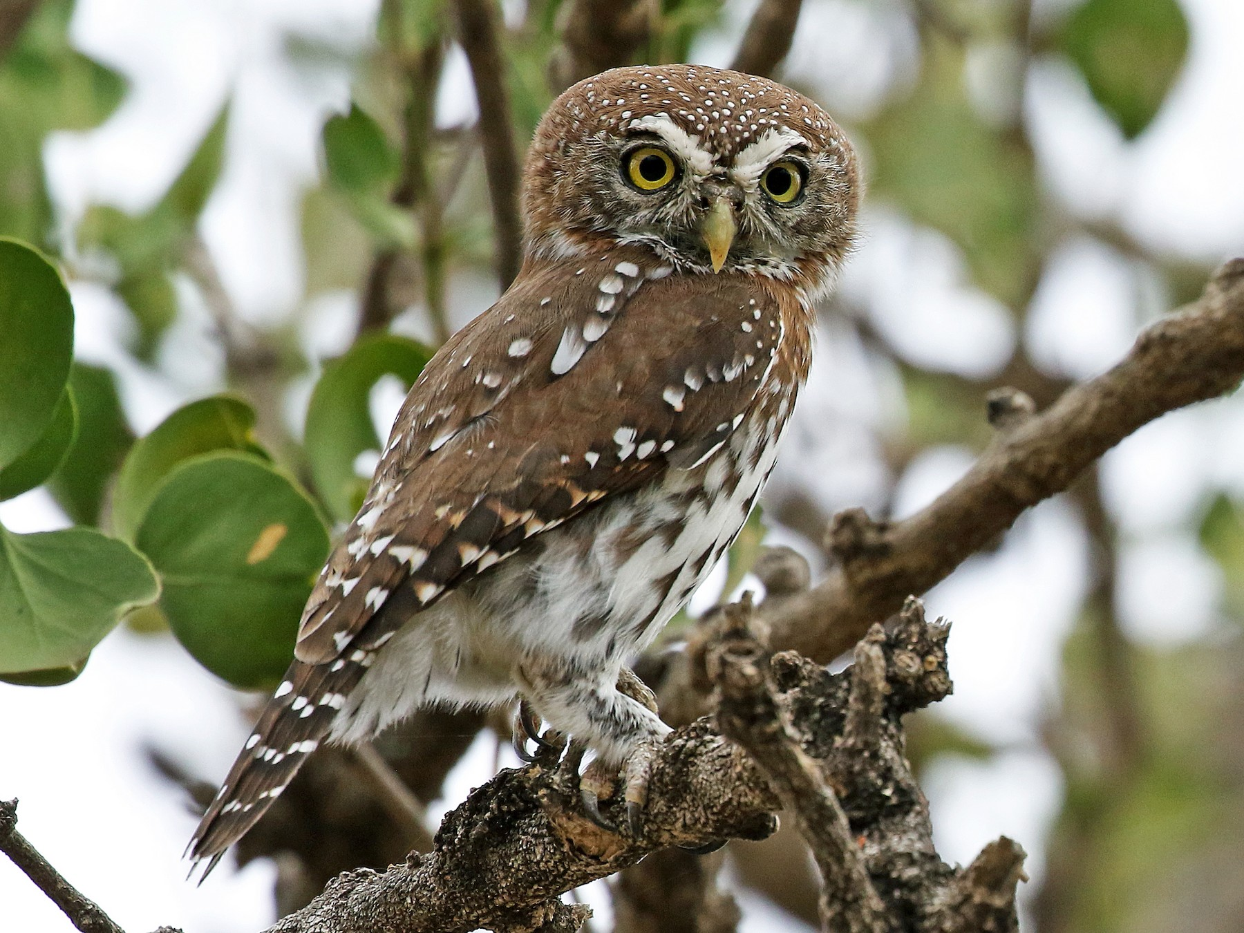 Pearl-spotted Owlet - Andrew Spencer