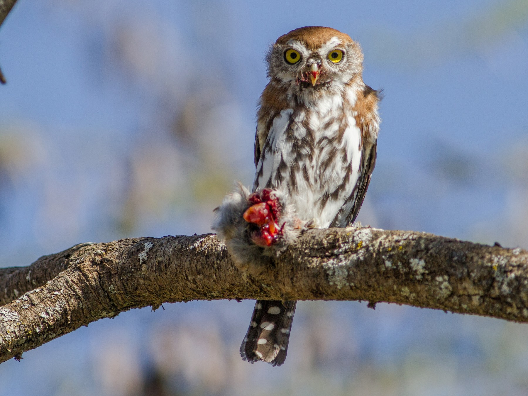 Pearl-spotted Owlet - Chris Sayers