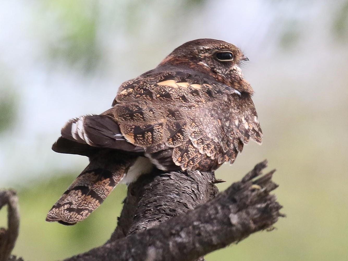 Pennant-winged Nightjar - Michael O'Brien