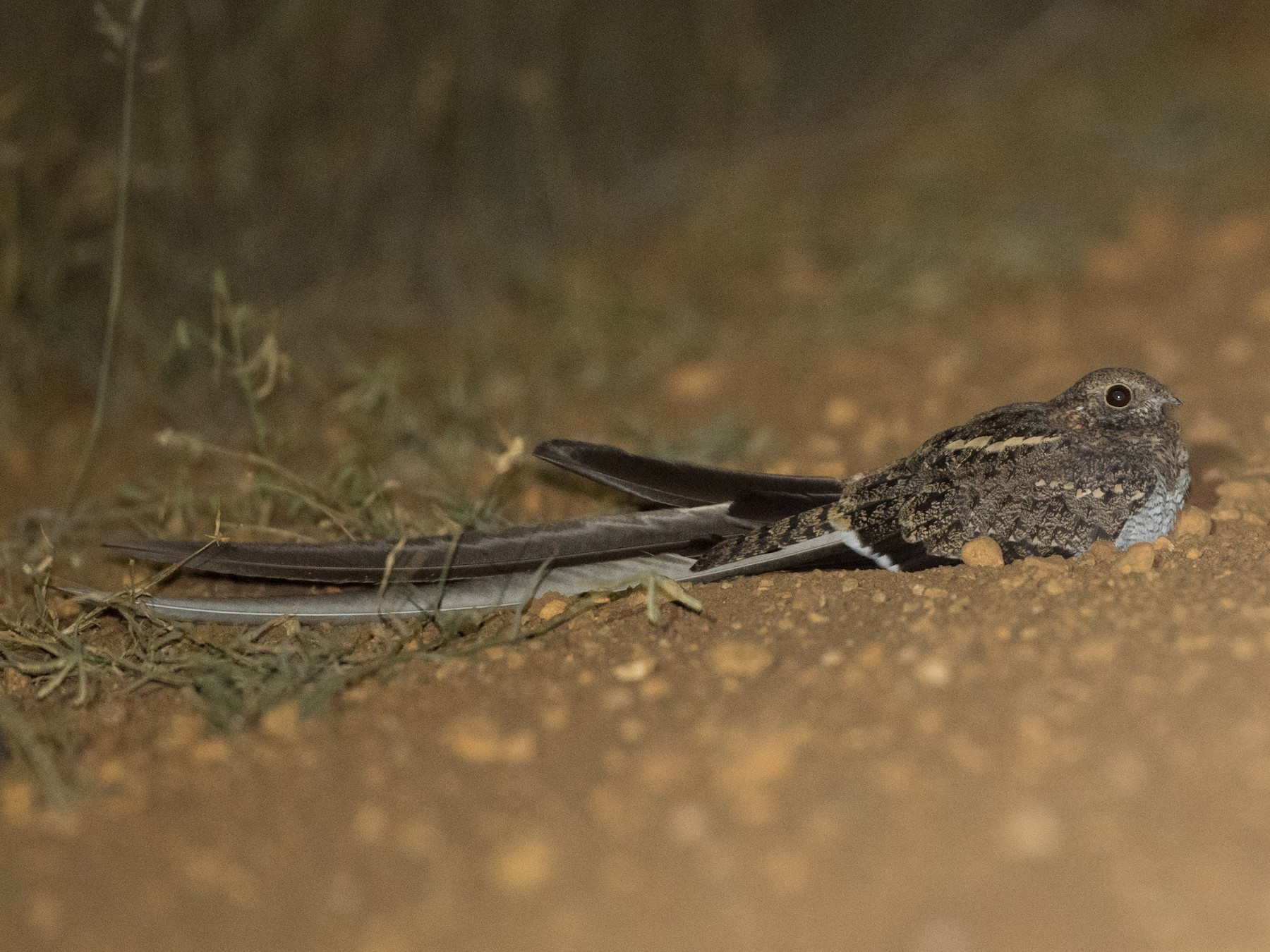 Pennant-winged Nightjar - Ian Davies