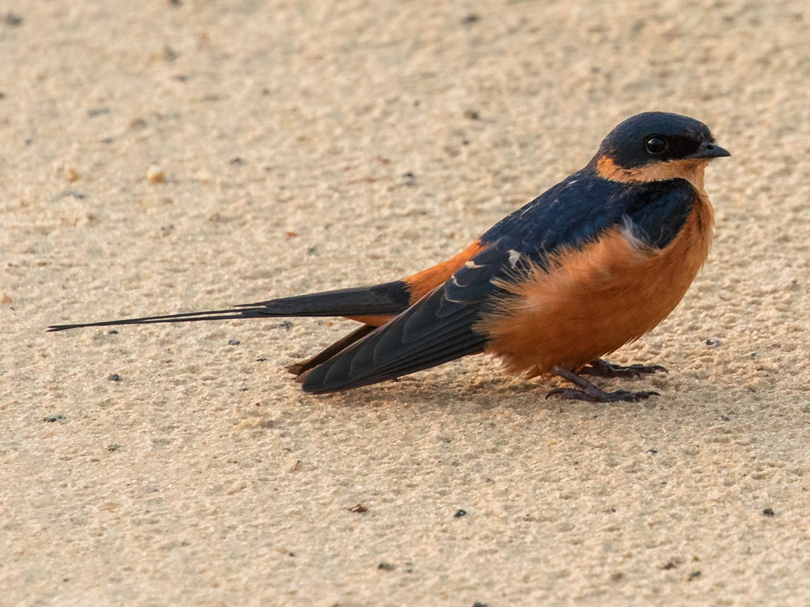 Rufous-chested Swallow - Miguel Angel Fuentes Rosúa