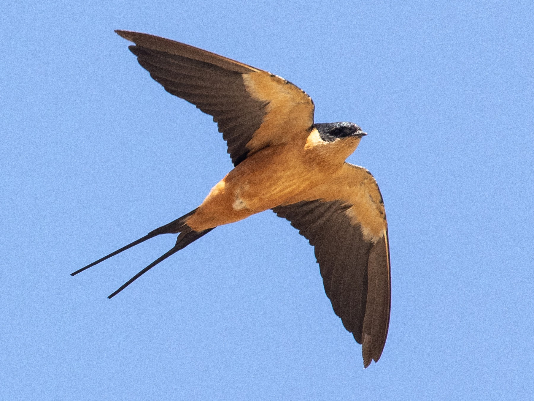 Rufous-chested Swallow - James Kennerley 🦄