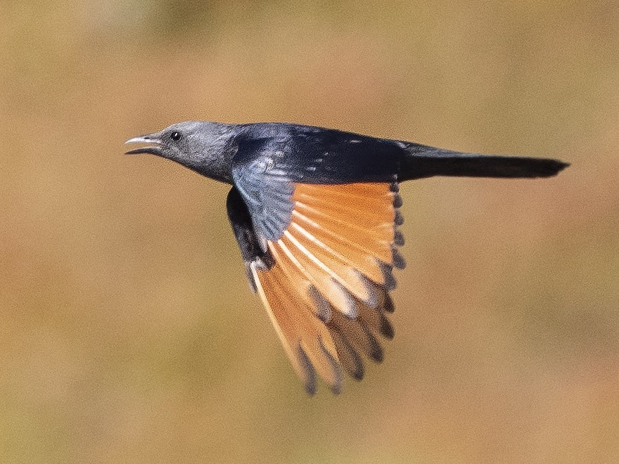 Red-winged Starling - Peter Hawrylyshyn