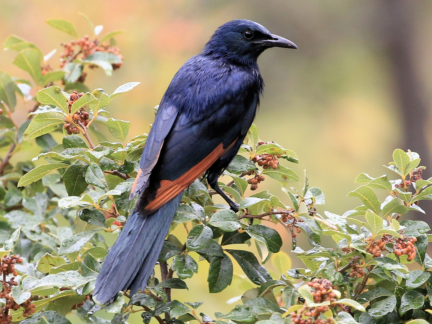 Red-winged Starling - Patrick MONNEY