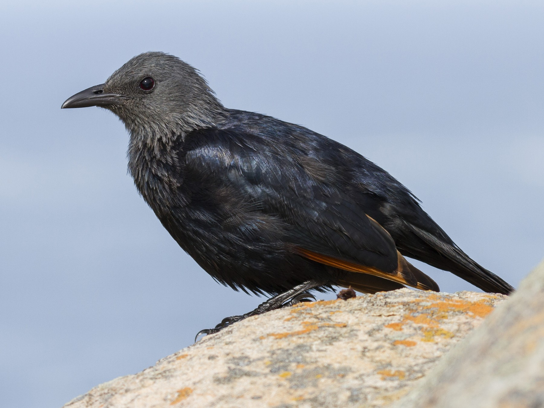 Red-winged Starling - Alexander Thomas