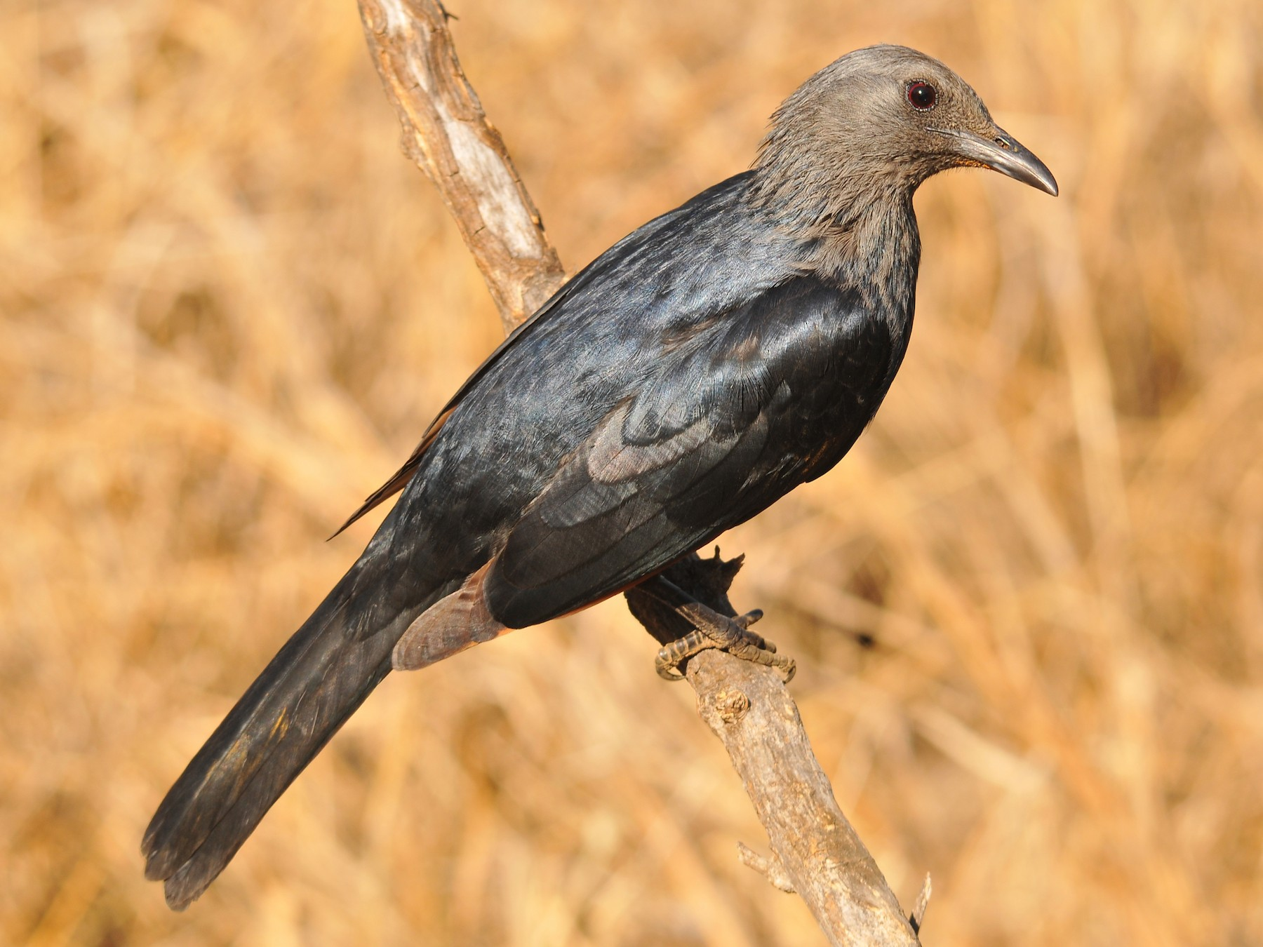 Red-winged Starling - Tom Heijnen