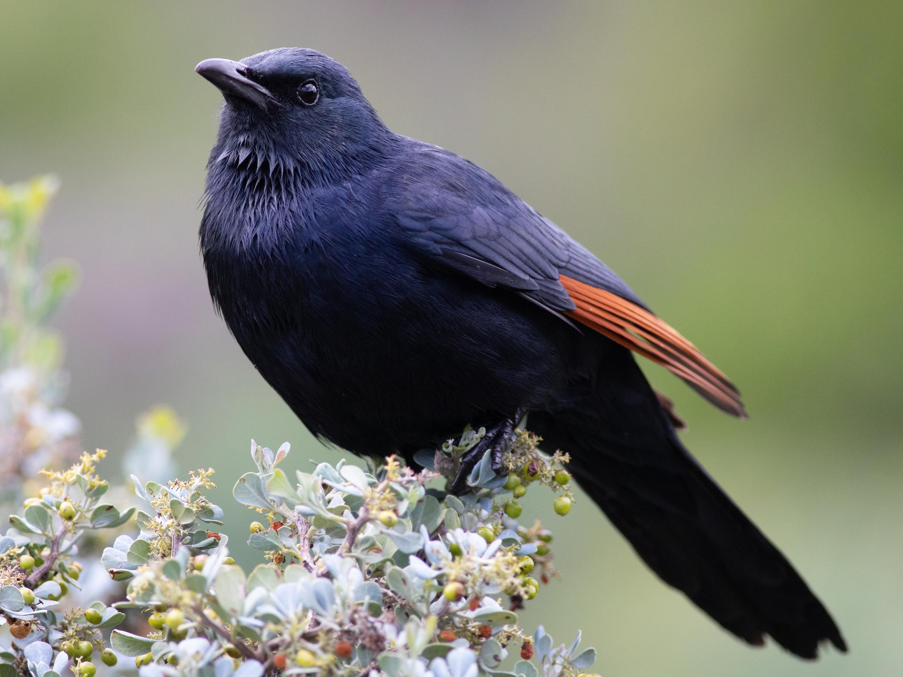 Red-winged Starling - Oliver Burton