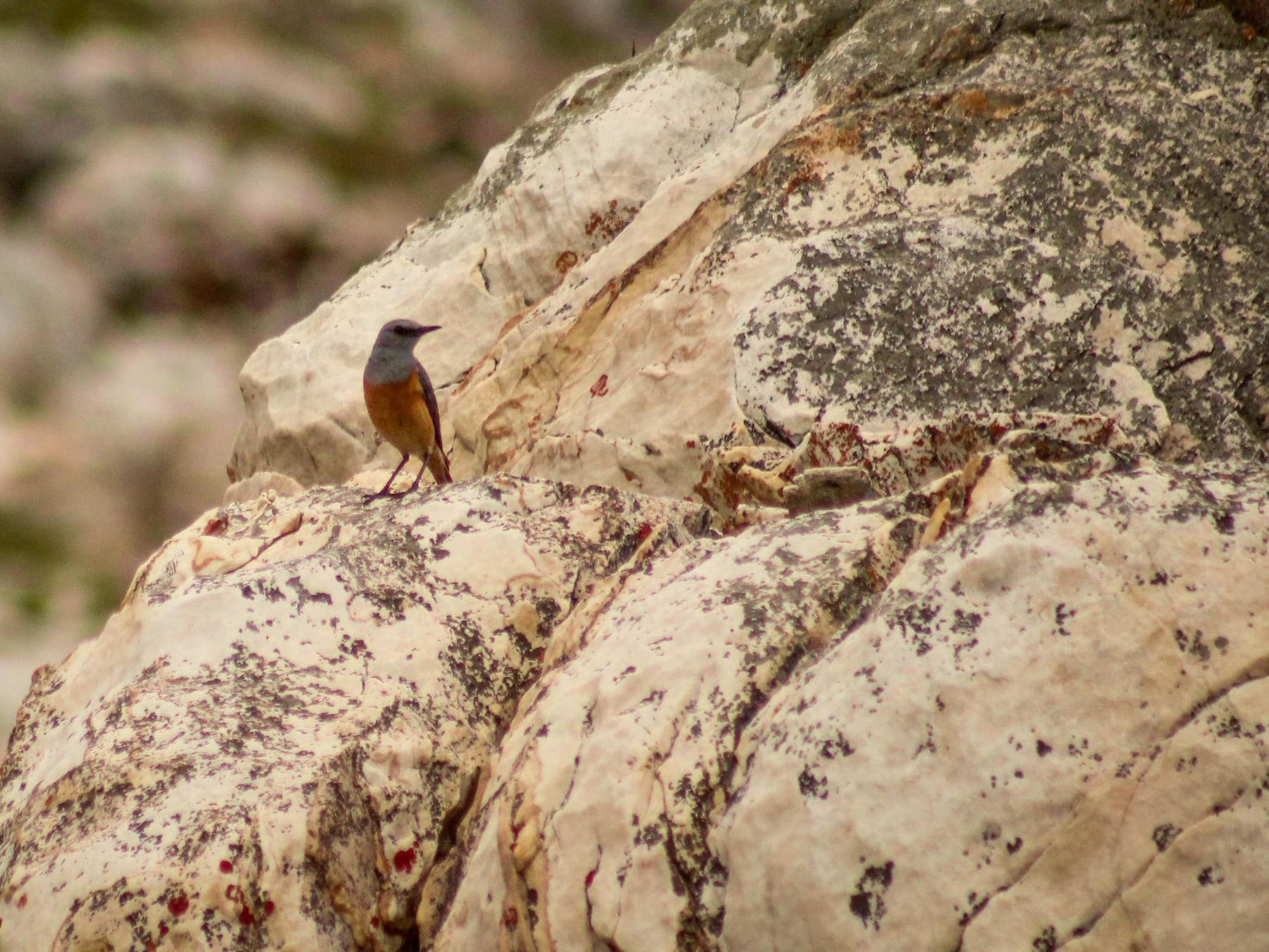 Sentinel Rock-Thrush - Callum Evans