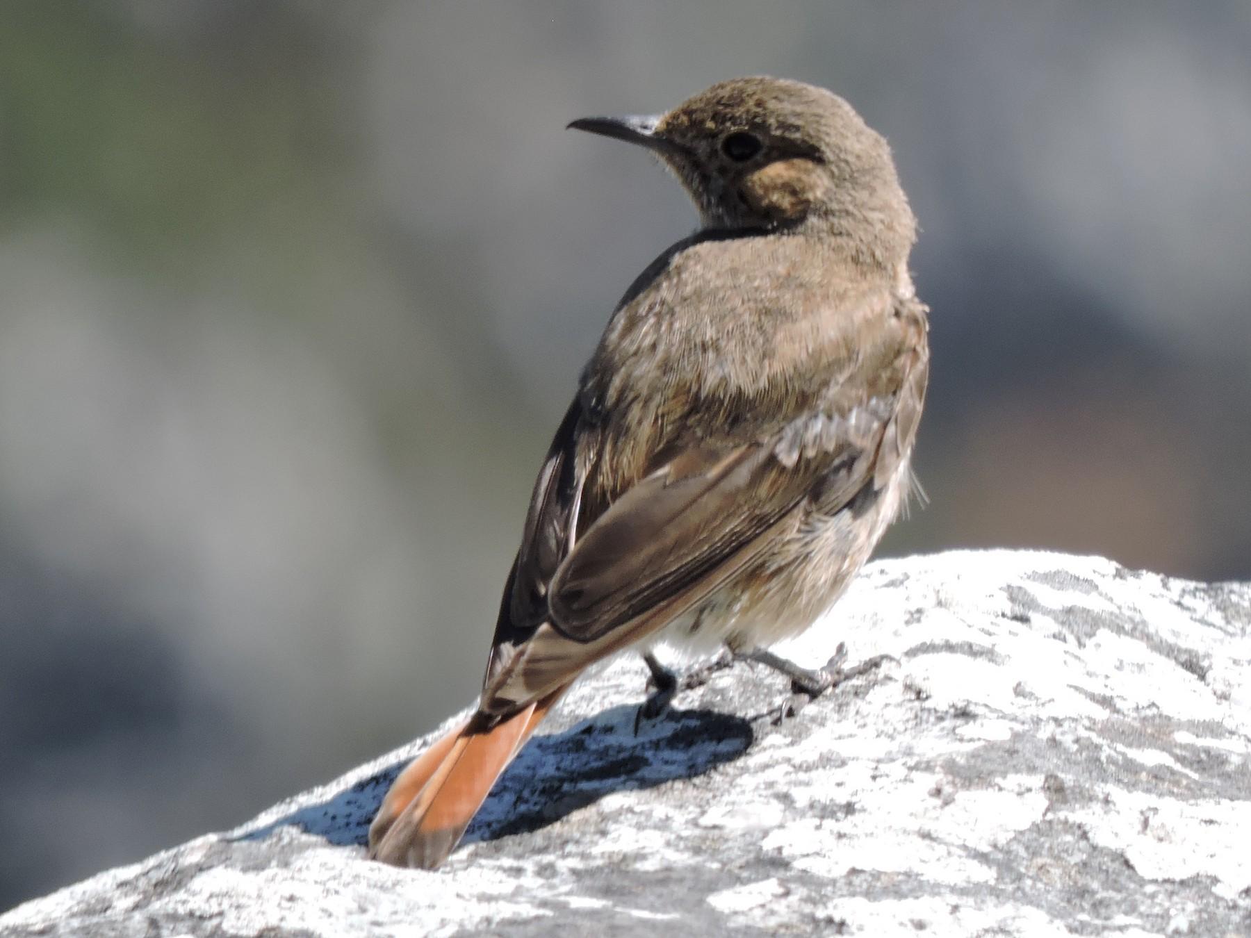 Sentinel Rock-Thrush - Win Ahrens