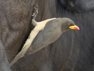 - Yellow-billed Oxpecker