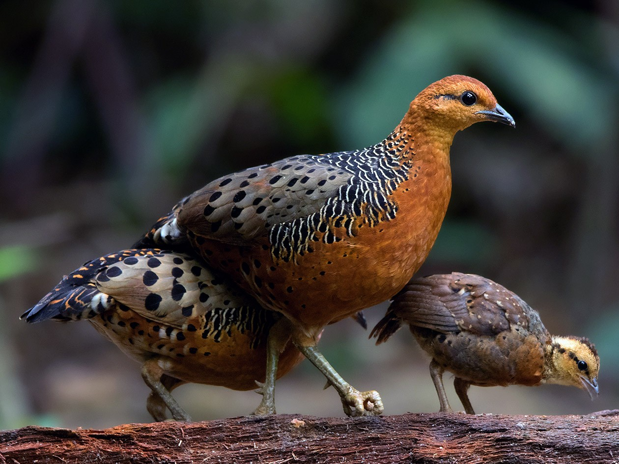 Ferruginous Partridge - Ayuwat Jearwattanakanok