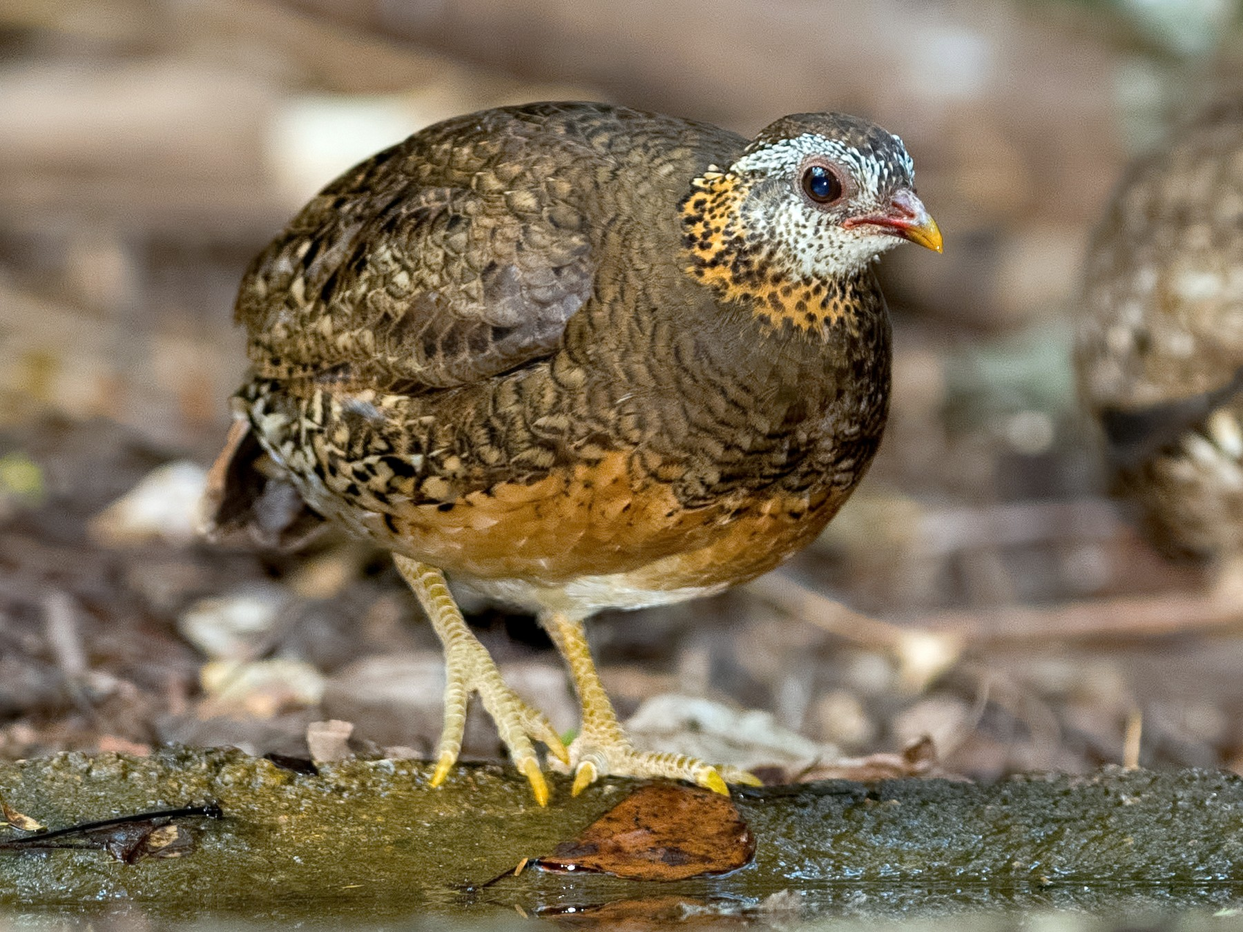 Scaly-breasted Partridge - Shailesh Pinto