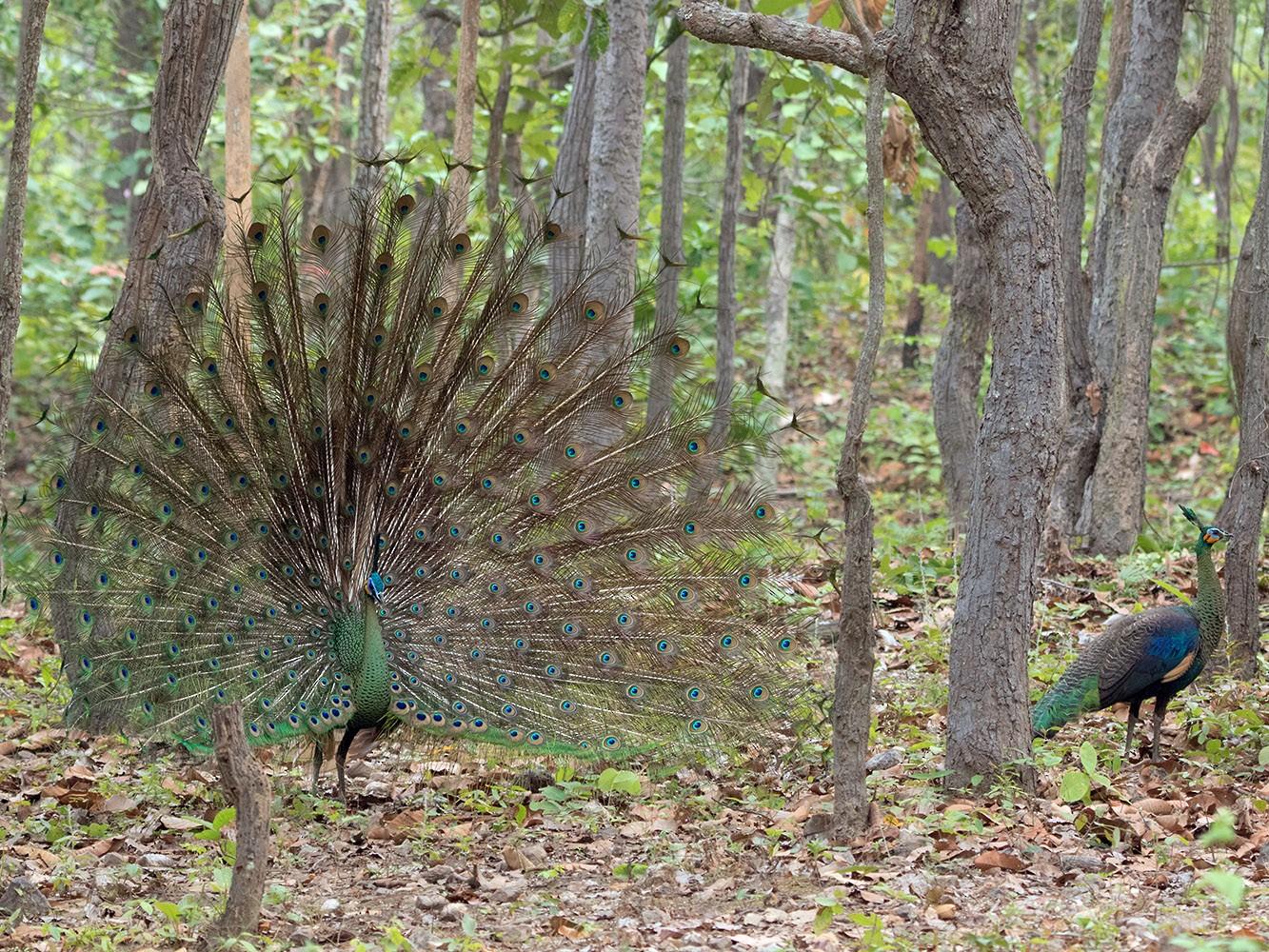 Green Peafowl - Ayuwat Jearwattanakanok