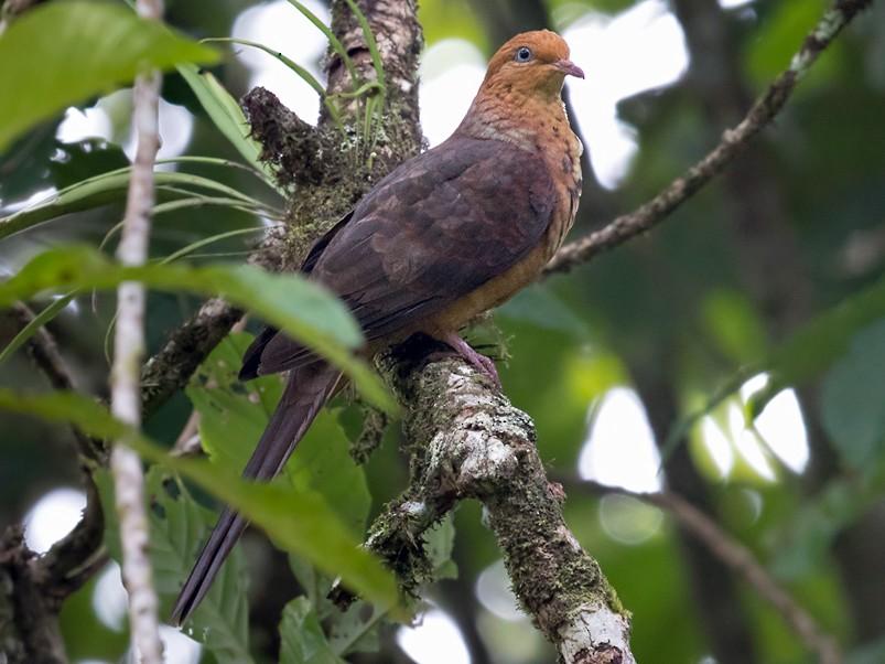 Little Cuckoo-Dove - Lars Petersson