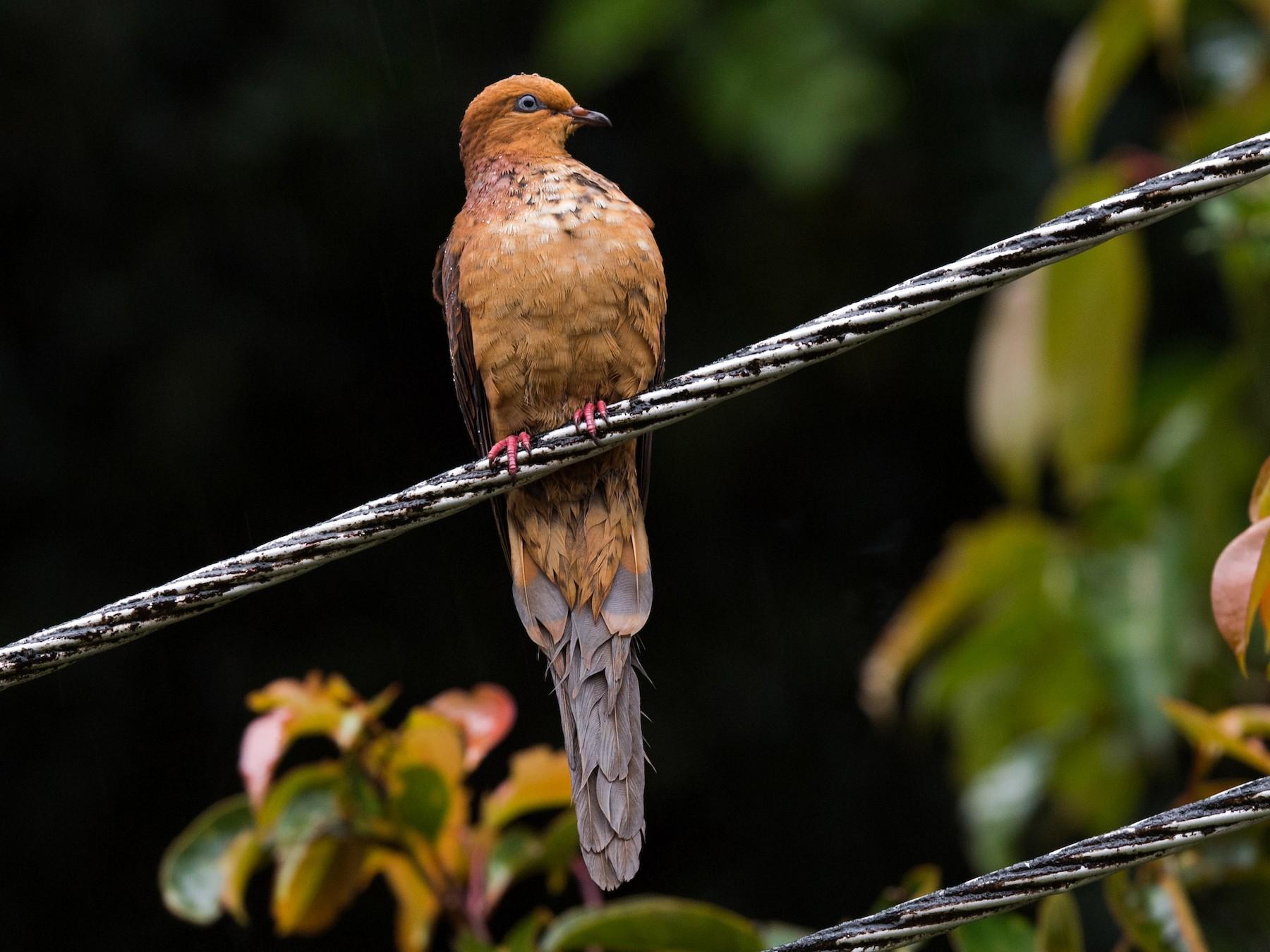 Little Cuckoo-Dove - Will Yan