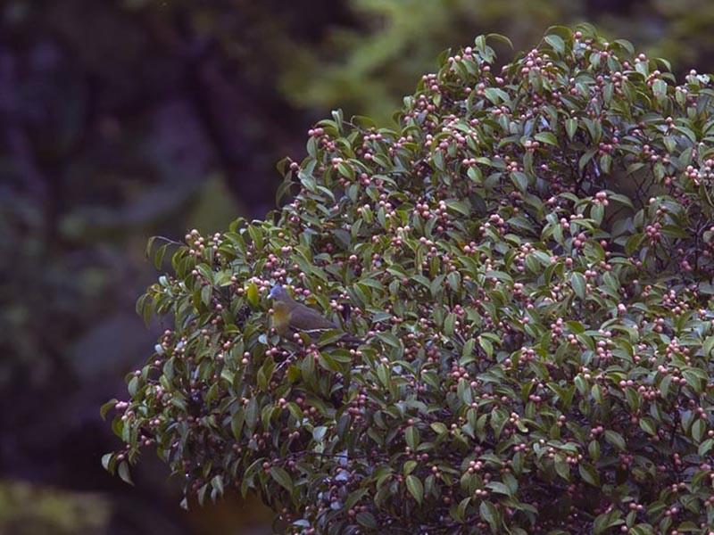 Little Green-Pigeon - Fran Trabalon