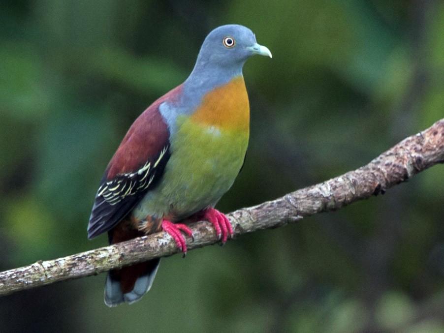 Little Green-Pigeon - Francis Yap