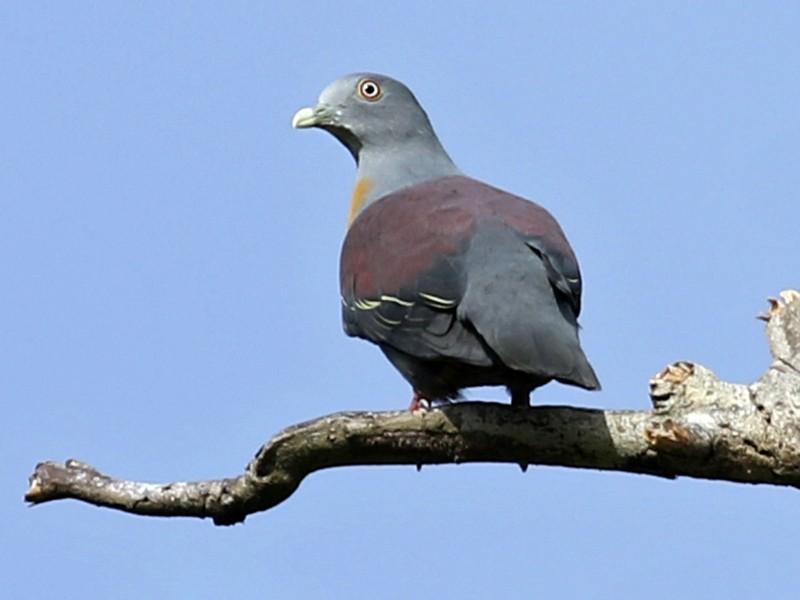 Little Green-Pigeon - Charley Hesse