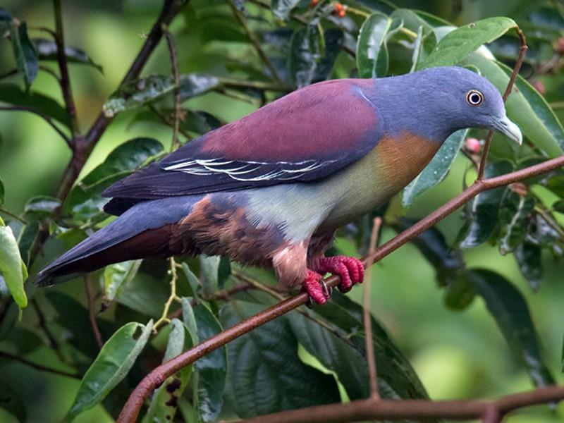 Little Green-Pigeon - Lars Petersson
