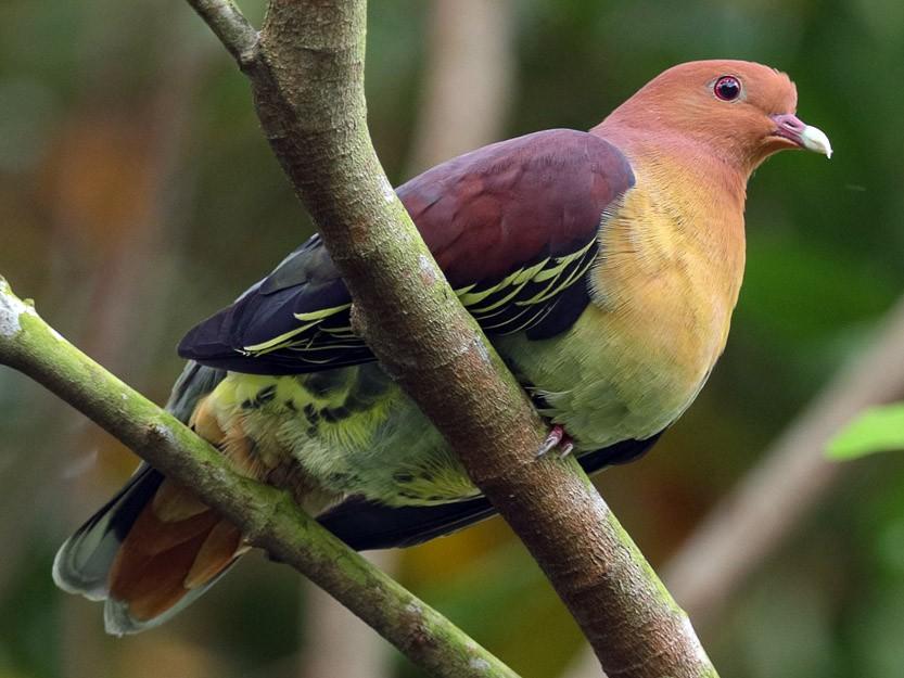 Cinnamon-headed Green-Pigeon - Francis Yap