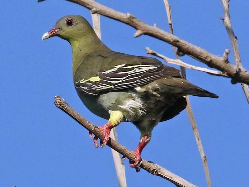 Cinnamon-headed Green-Pigeon - Dave Bakewell