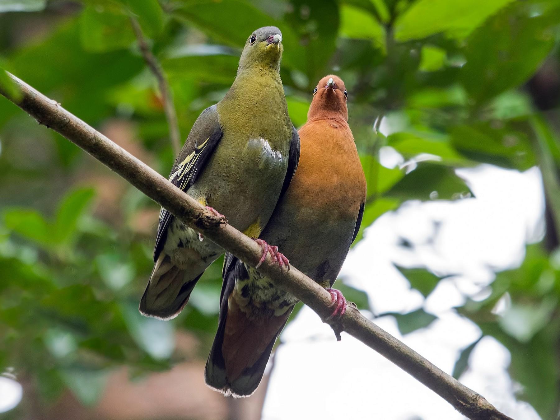 Cinnamon-headed Green-Pigeon - Wai Loon Wong