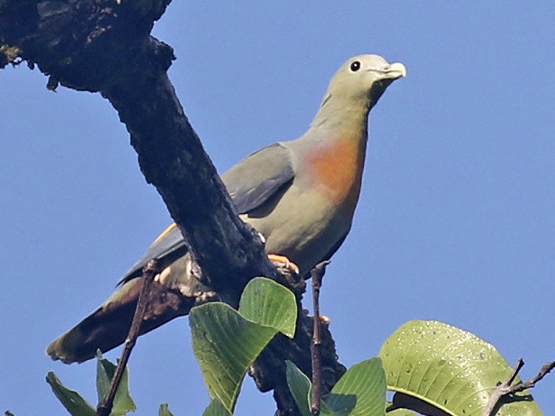 Large Green-Pigeon - Charley Hesse TROPICAL BIRDING