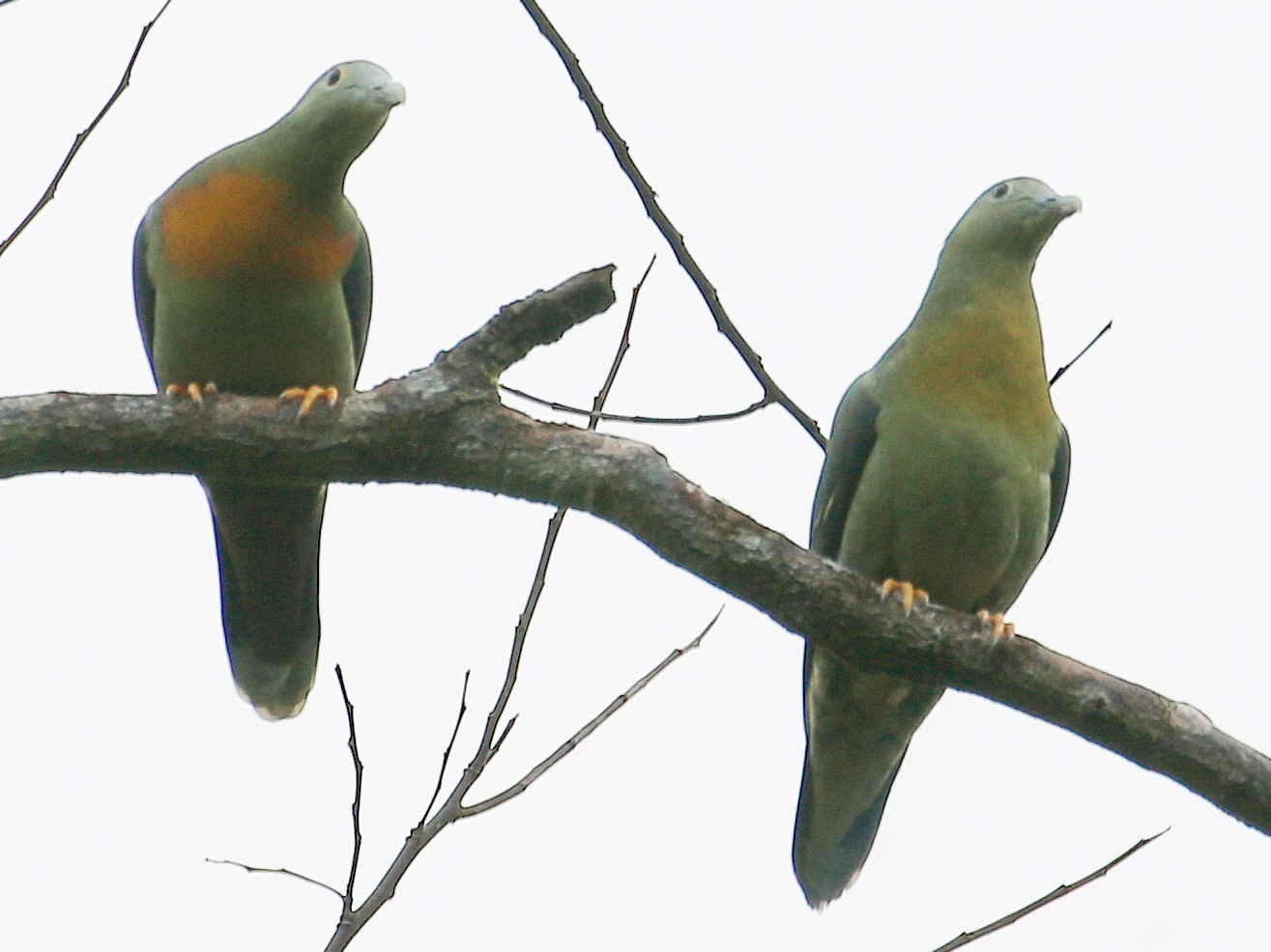 Large Green-Pigeon - Neoh Hor Kee