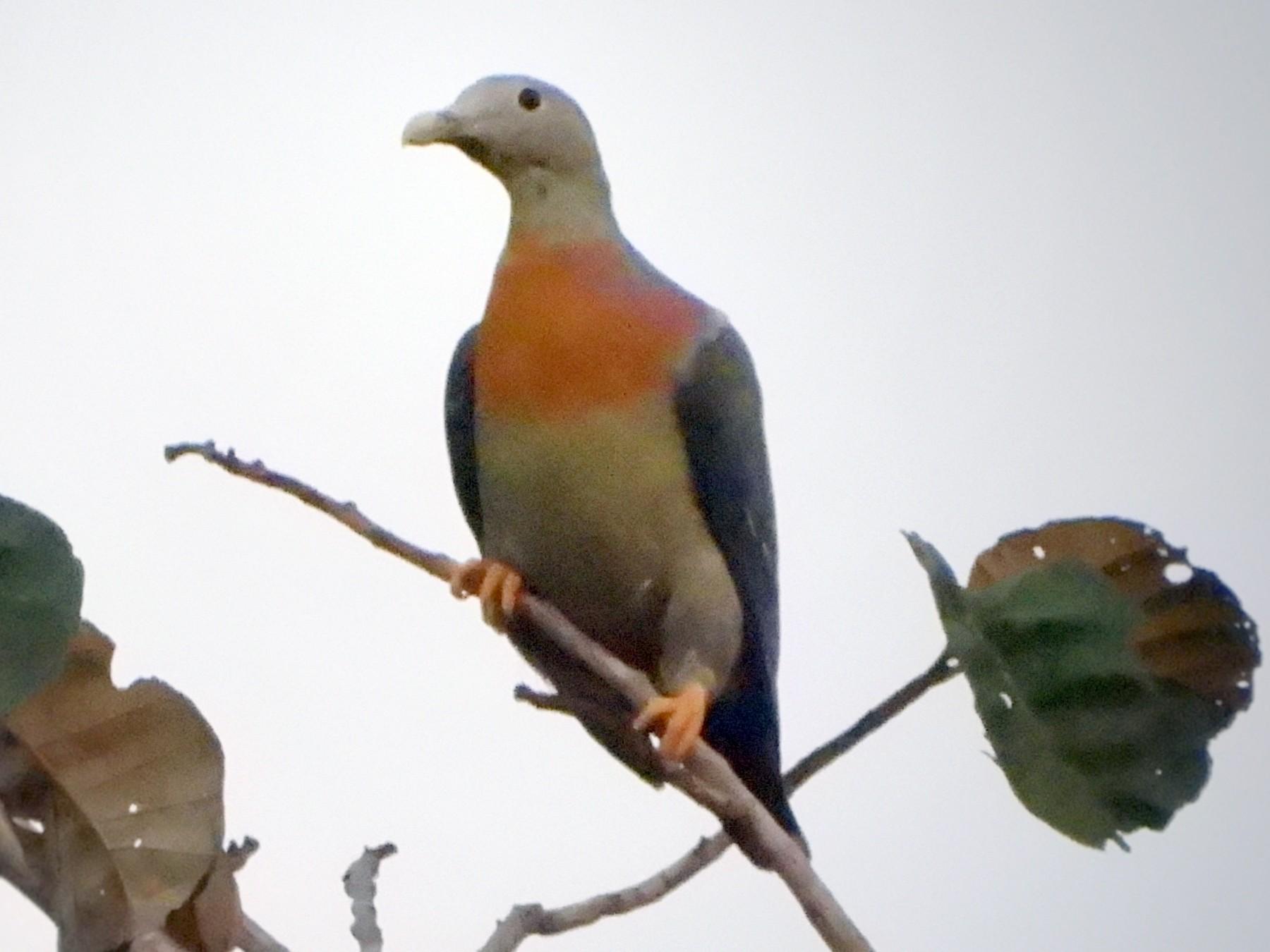 Large Green-Pigeon - Ingkayut Sa-ar