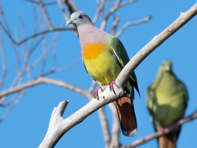 Pink-necked Green-Pigeon - Abhiram Sankar