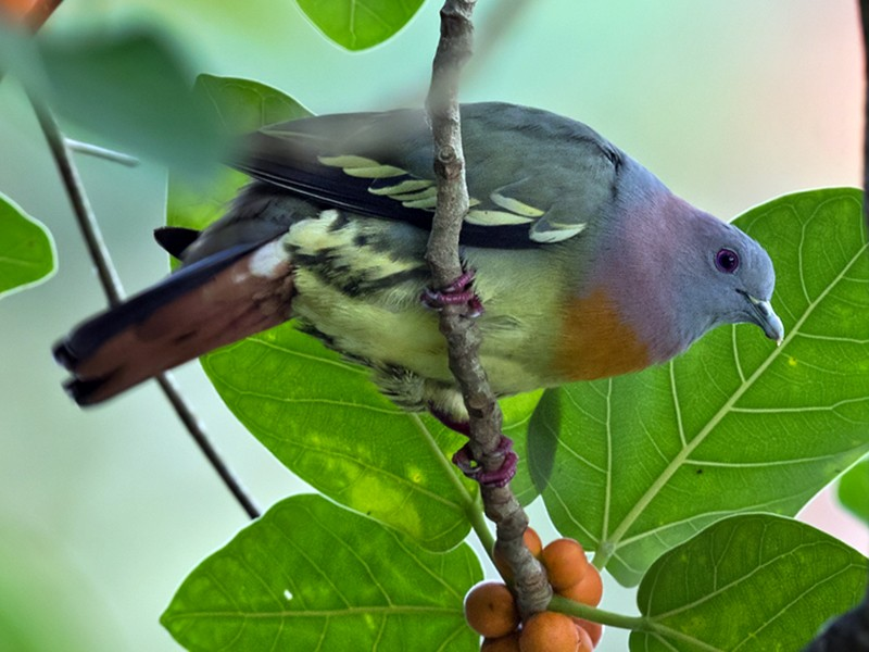Pink-necked Green-Pigeon - Lars Petersson