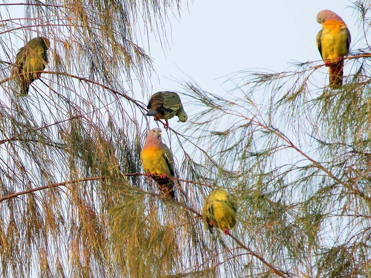 Pink-necked Green-Pigeon - Ayuwat Jearwattanakanok