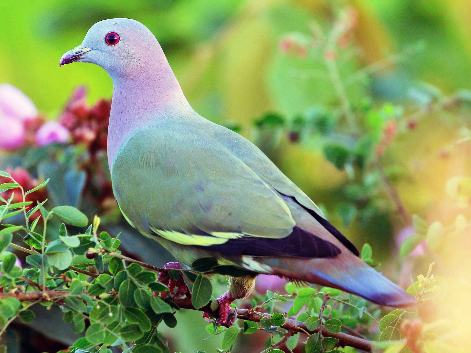 Pink-necked Green-Pigeon - Neoh Hor Kee