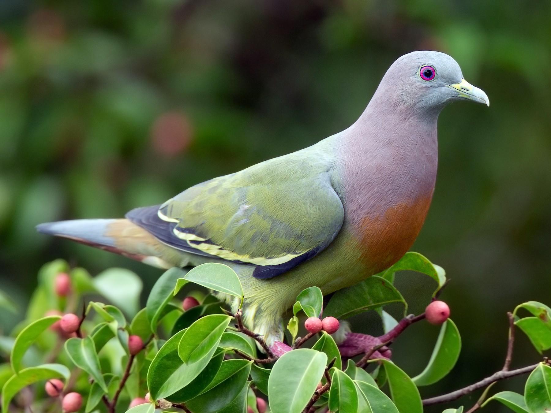 Pink-necked Green-Pigeon - JJ Harrison
