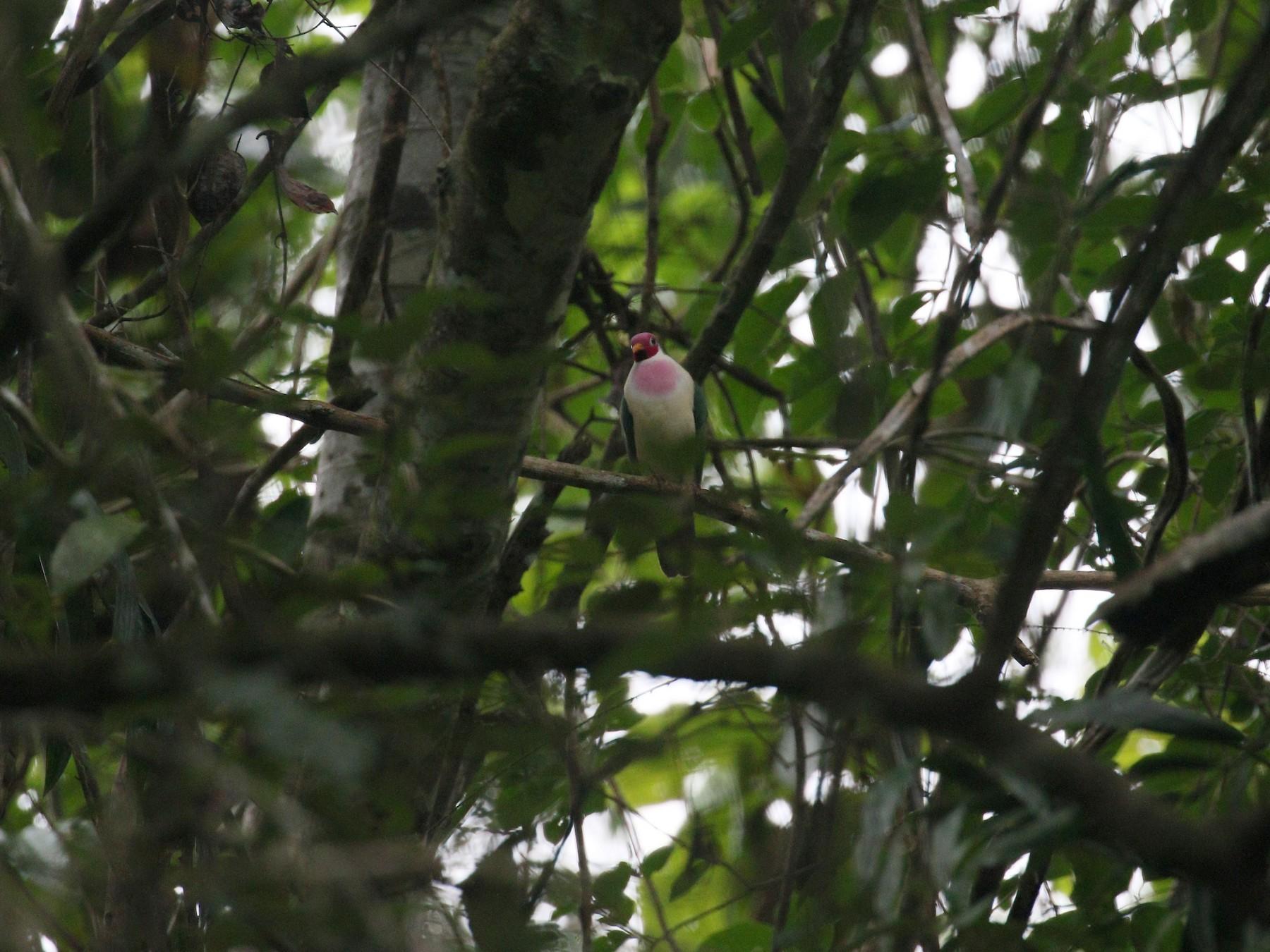 Jambu Fruit-Dove - simon walkley