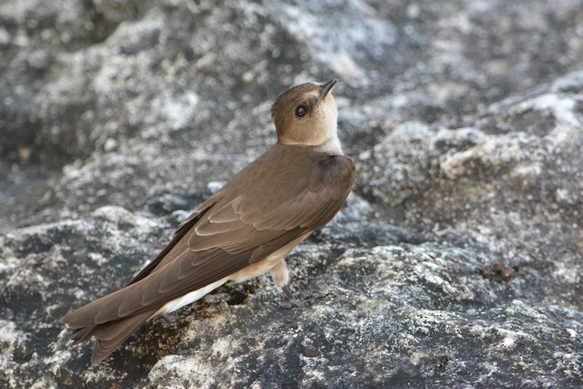 Northern Rough-winged Swallow (Ridgway's)