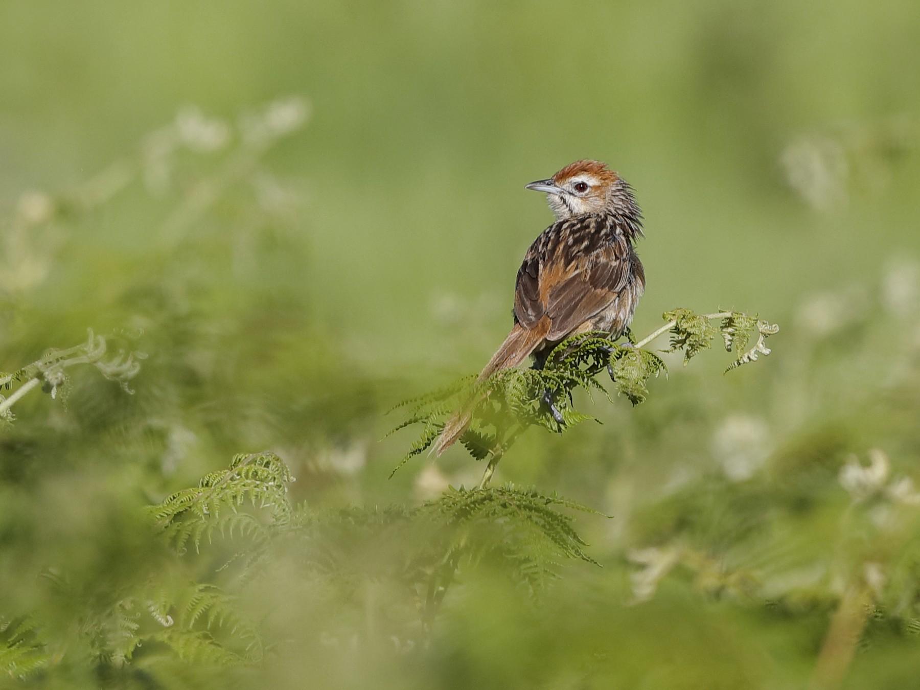 Cape Grassbird - Holger Teichmann