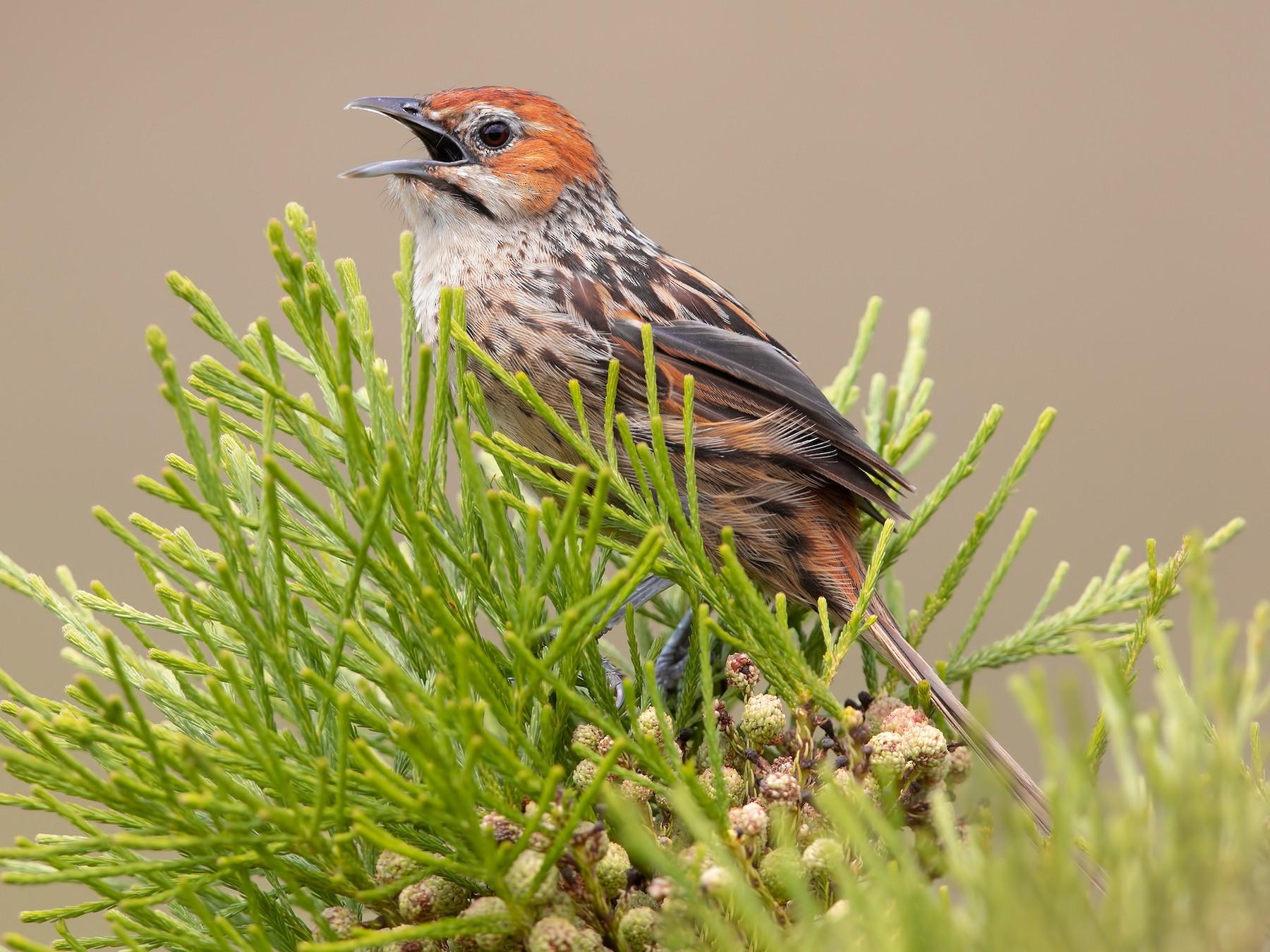 Cape Grassbird - Marco Valentini