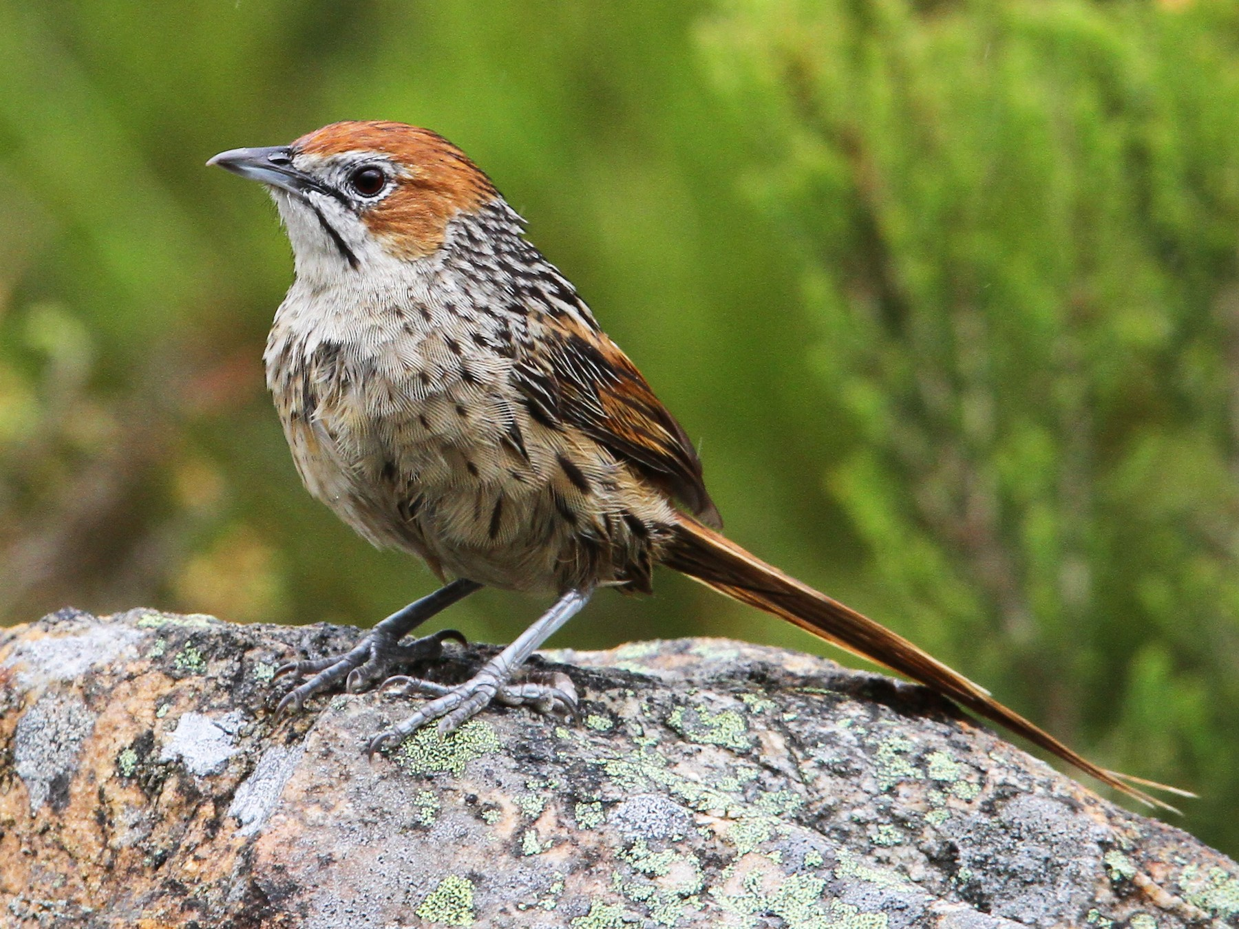 Cape Grassbird - Christoph Moning
