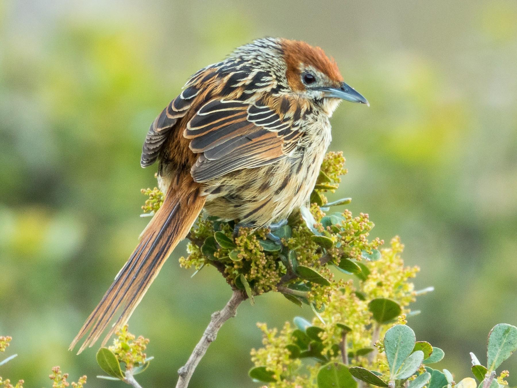 Cape Grassbird - Markus Craig