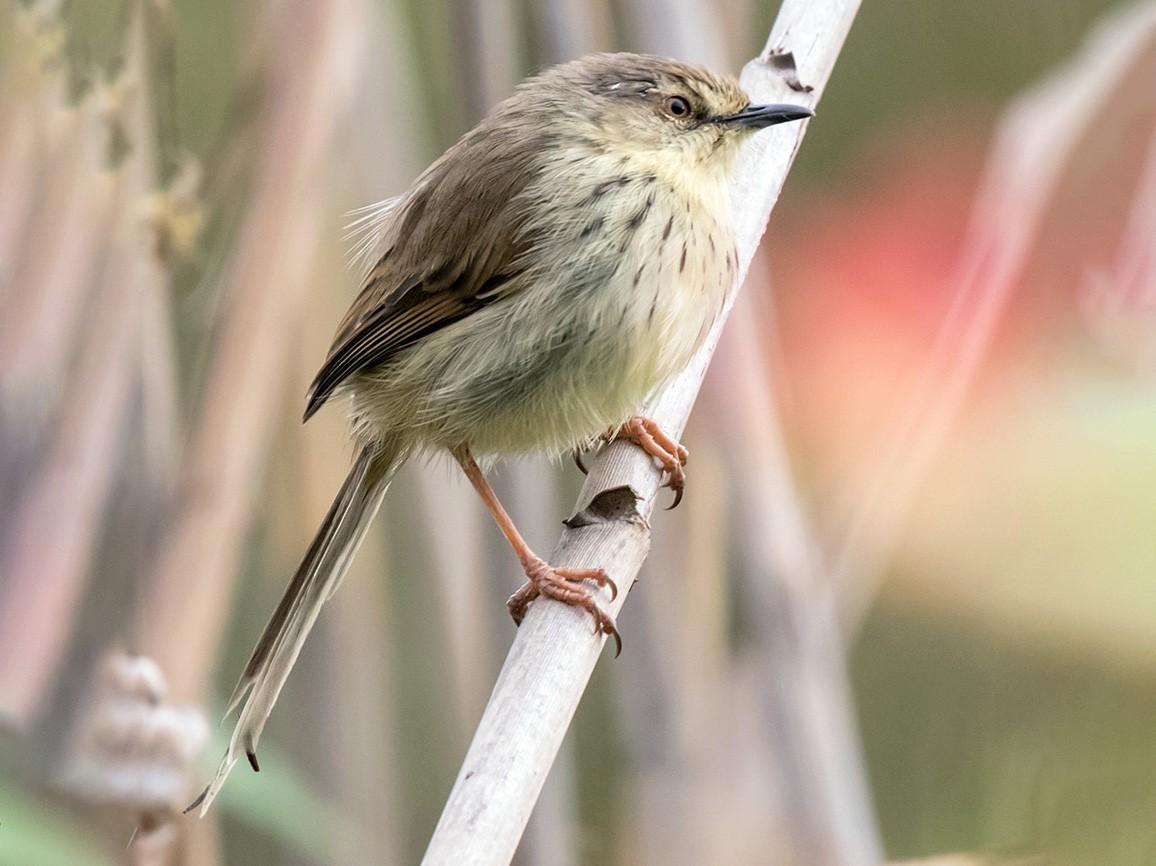Drakensberg Prinia - Bruce Ward-Smith