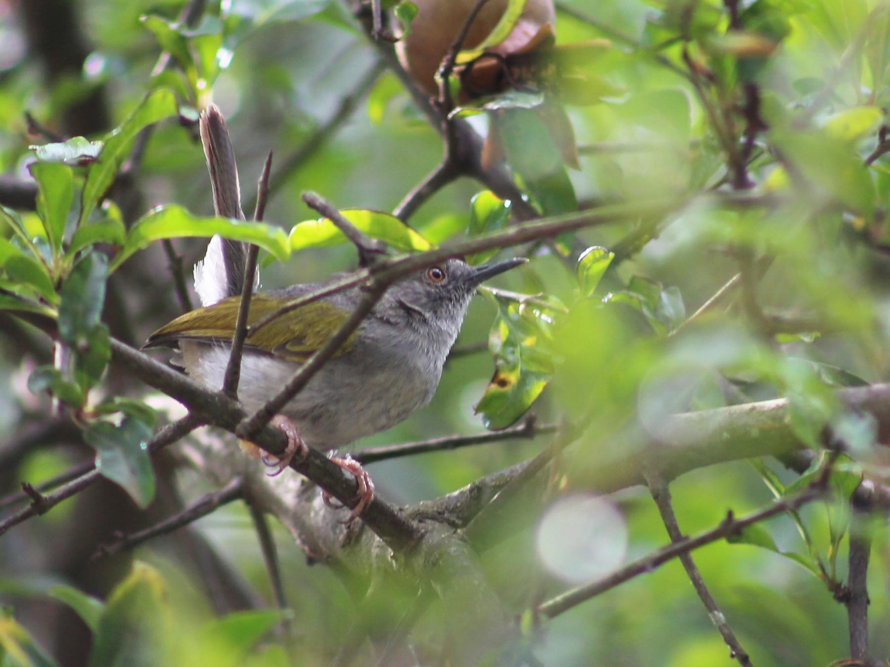 Green-backed Camaroptera - Morgan Van Peursem