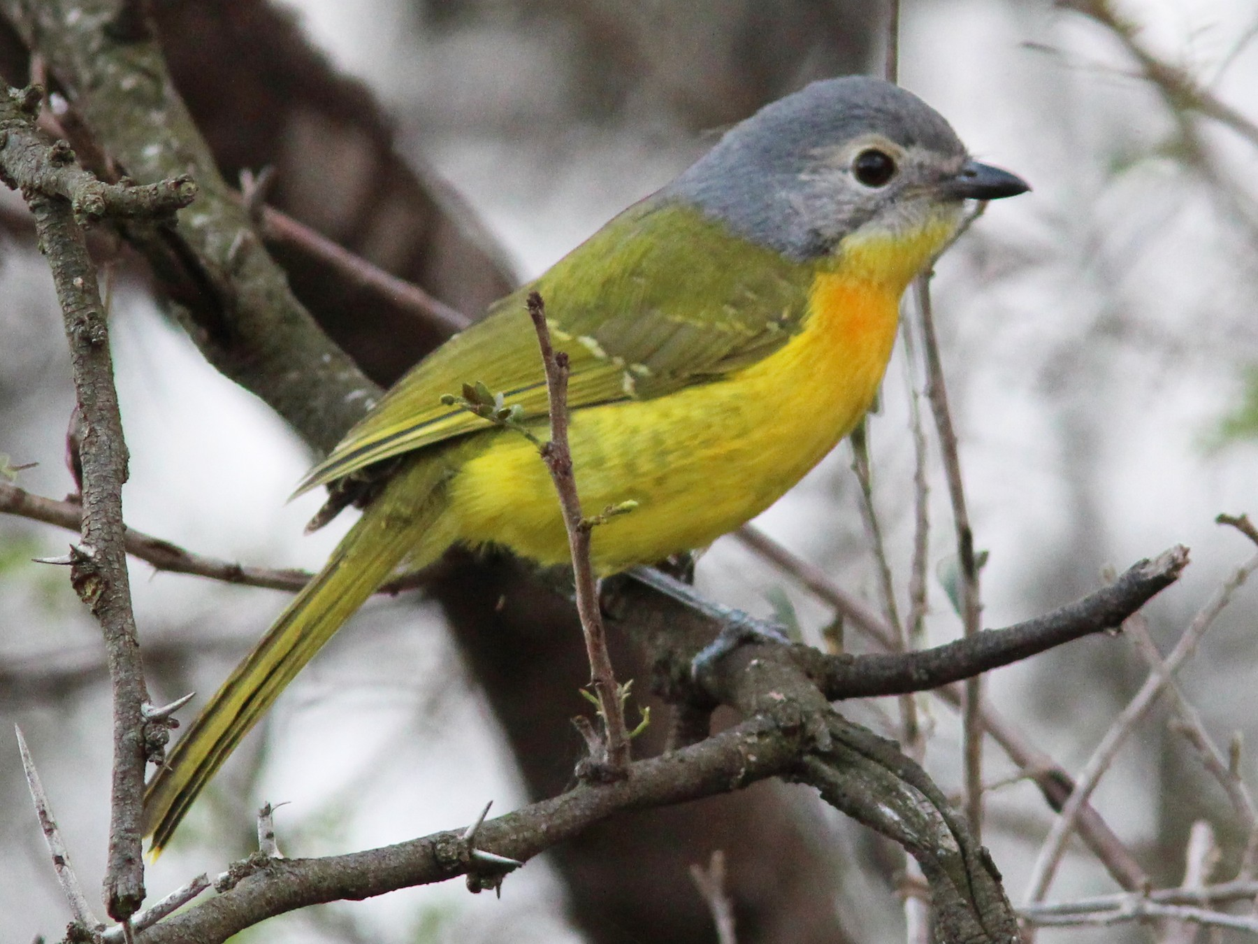 Sulphur-breasted Bushshrike - Dan Jones