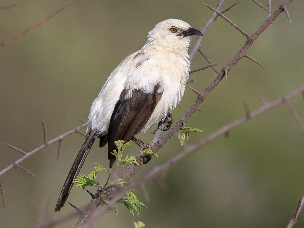 Southern Pied-Babbler - Niall D Perrins