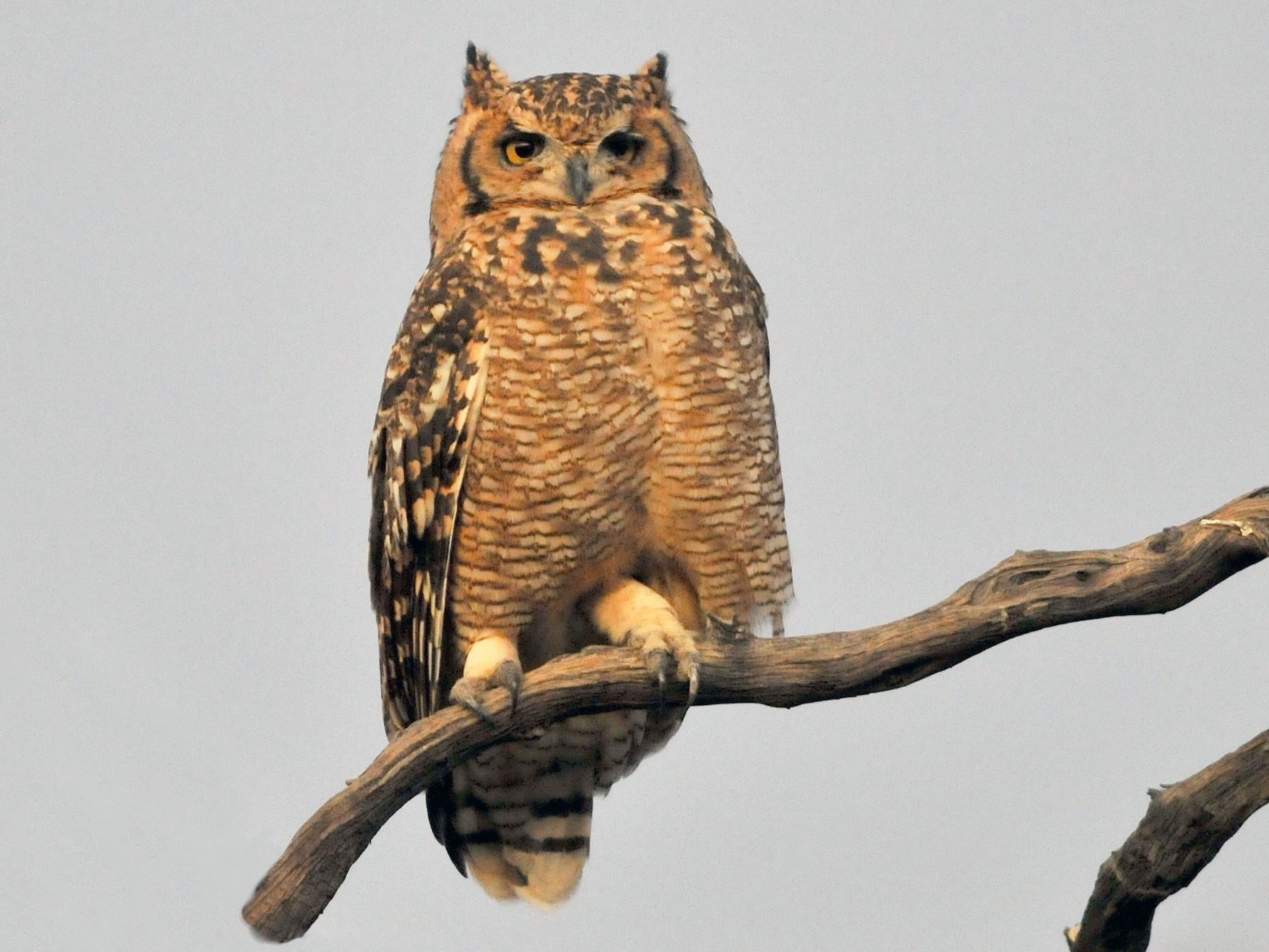 Spotted Eagle-Owl - Tom Heijnen